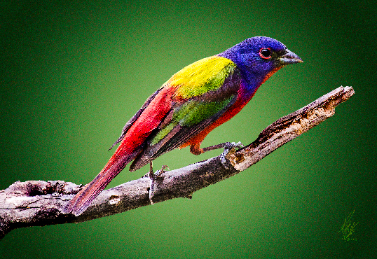 Want to color a Painted Bunting?