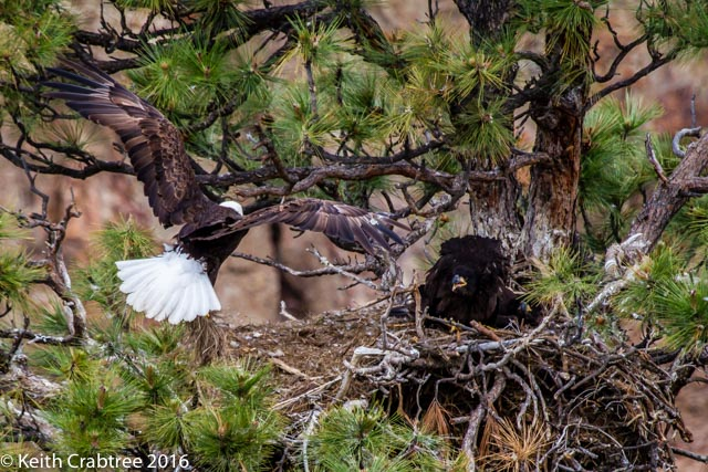 Birds eye view of the Bald Eagle nest at Smith Rock State Park.