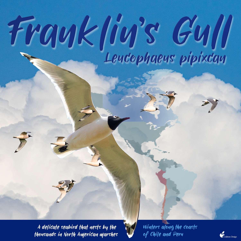 Franklin's gull